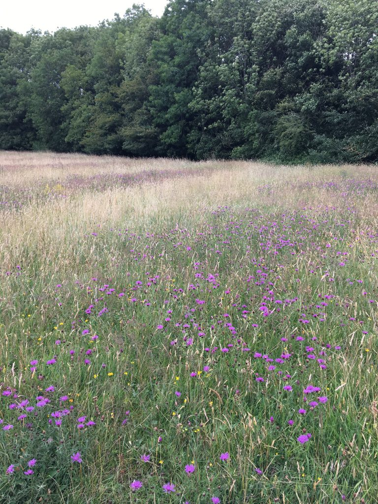 Oxford meadows - greater knapweed
